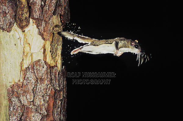 Southern Flying Squirrel (Glaucomys volans), adult leaving cavity, Raleigh, Wake County, North Carolina, USA