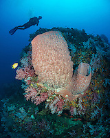 Diver hovers above a thriving reefscape including Barrel Sponges, Soft Corals, and Golden Damselfish, Amblyglyphidodon aureus. Andaman Islands, India, Andaman Sea