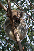 Koala (Phascolarctos cinereus victor) sleeping in a Eucalyptus tree in Flinders Chase National Park on Kangaroo Island, South Australia, Australia.