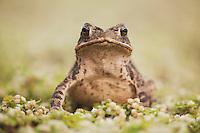 Gulf Coast Toad (Bufo valliceps), adult, Sinton, Corpus Christi, Coastal Bend, Texas, USA