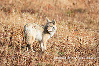 01864-03411 Coyote (Canis latrans) Yellowstone National Park, WY