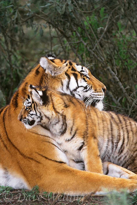 684080041 a captive mother and cub  siberian tigers panthera tigris altaicia interact as the cub stays close for protection species is highly endangered native to the high steppe plateaus of central asia and this is a wildlife rescue animal