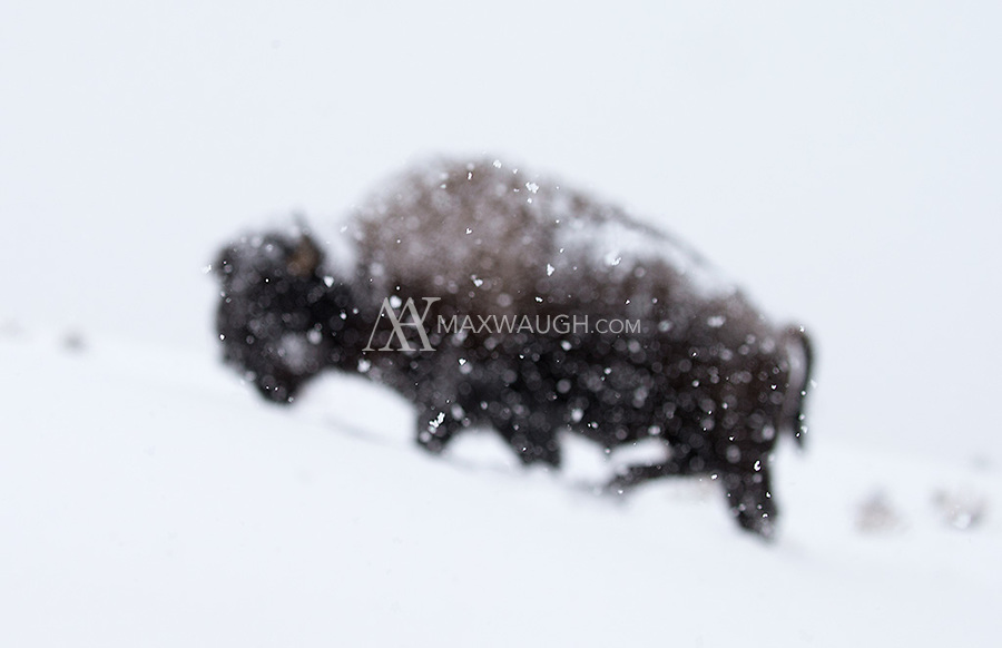 Bison stay in Yellowstone year-round and are forced to endure the harsh winter.