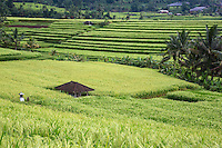 Jatiluwih, Bali, Indonesia.  Terraced Rice Paddies.  Small Shrine toi the Rice Goddess Sri on far left.  Village at Upper Right.