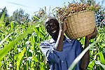 KENYA, Kaimosi, NGO RSP Rural Service Programme promote farming of traditional crops and crop diversity for healthy nutrition amongst small scale farmers, farmer at groundnut harvest, behind corn field / KENIA Kisumu County, Kaimosi, NGO RSP Rural Service Programme, Unterstuetzung von Kleinbauern beim biologischen Anbau von traditionellen Sorten, Sortenvielfalt und Verbesserung einer gesunden Ernaehrung, Feld von Mable Kagesha und Christopher Itayi, hier bei der Erdnuss Ernte, Hintergrund Maisfeld