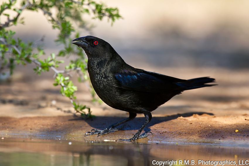 Bronzed Cowbird at waters edge