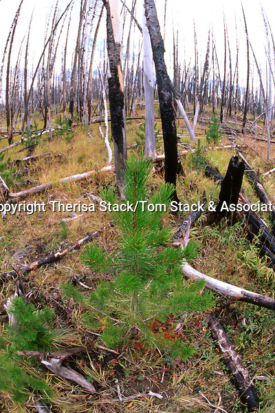 Regrowth 9 years after the Yellowstone National Park Fire, 1997