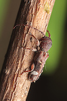 A Currant-tip Borer (Psenocerus supernotatus) walks on a plant stem.