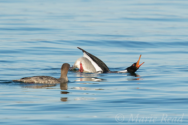 "Red-breasted Merganser (Mergus serrator), male performing courtship display (""Salute-Curtsy"") to female, Aurora, New York, USA"