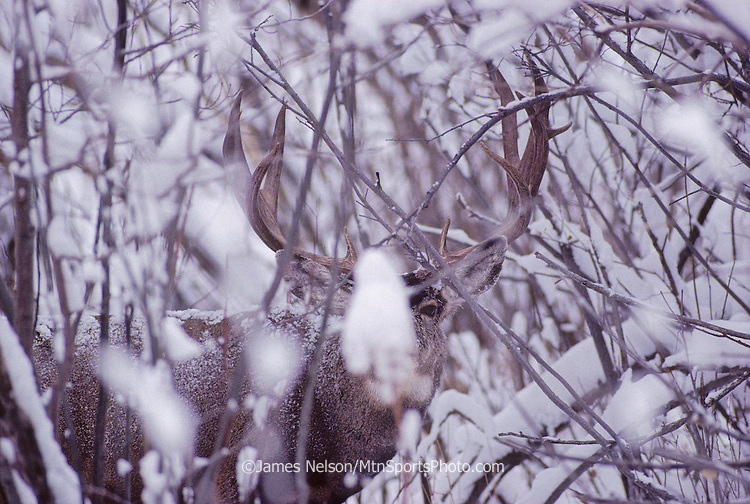 12-1294. A mule deer buck with large antlers finds cover in snowy brush in the Rocky Mountains of Colorado.
