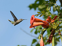 Courtesy photo/TERRY STANFILL<br /> FLY-IN DINING<br /> A hummingbird hovers near wildflowers ready to sip a nectar meal. Terry Stanfill of the Decatur area took the picture at the Eagle Watch Nature Trail west of Gentry on July 26.