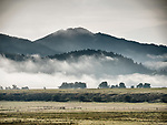 Cattle graze in a field as fog obscures  the forest along the Big Hole River near Wise River, Montana.
