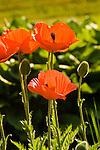 orange poppy.