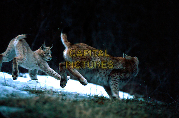 lynx.lynx lynx . lynx big cat animal animals fur mammal playing teaching hunt hunting young cub.CAP/CAV.©Luca Cavallari/Capital Pictures.