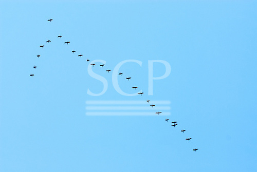 Rio de Janeiro, Brazil. Birds flying in a V formation or Christ the Redeemer and the Corcovado mountain.