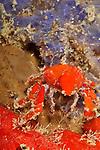 Southern teardrop crab, Pelia rotunda, Bonaire