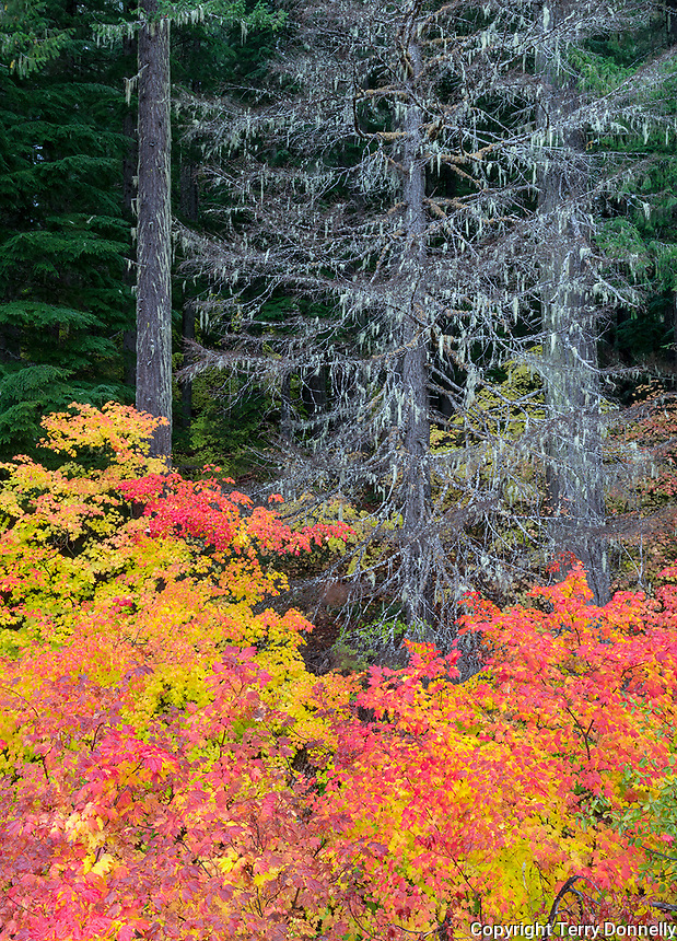 Willamette National Forest, Oregon:<br /> Vine maple (acer circinatum) at the forest understory