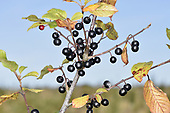 Alder Buckthorn - Frangula alnus