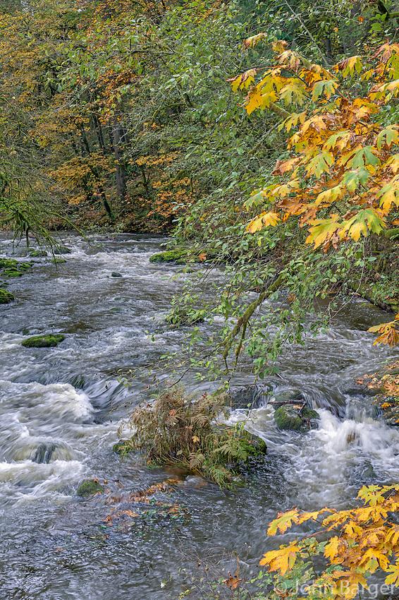 USA, Washington, Camas, Lacamas Park, Autumn colored bigleaf maple trees add color to forest bordering Lacamas Creek.