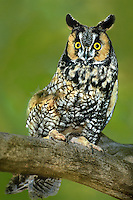 564070001 a wildlife rescue long-eared owl asio otus perches on a large tree limb in colorado