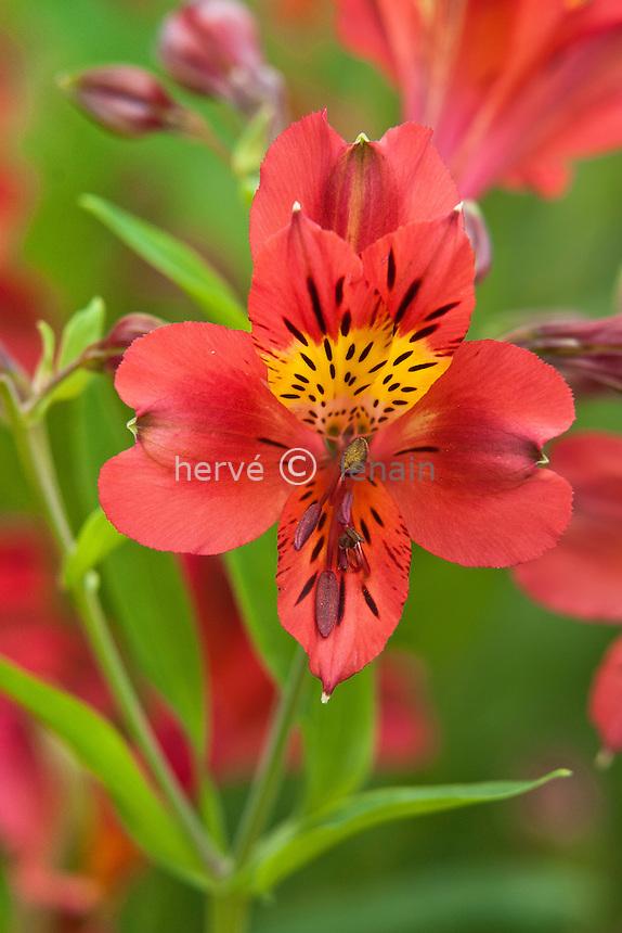 Lis des incas = alstroemère (Alstroemeria ) // Peruvian Lily or Lily of the Incas (Alstroemeria )