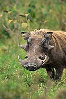 Warthog (Phacochoerus aethiopicus) male
