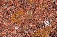 Riesenkrabbenspinne, Riesenkrabben-Spinne, Olios argelasius, giant crab spider, huntsman spider, Riesenkrabbenspinnen, Sparassidae, Heteropodidae, Eusparassidae, giant crab spiders, huntsman spiders, Korsika