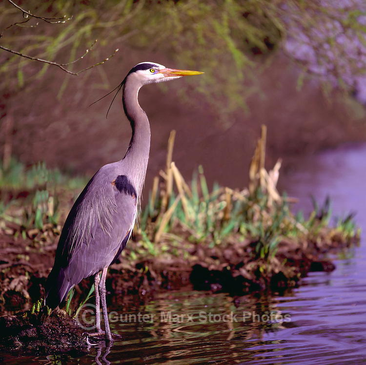 Great Blue Heron (Ardea herodias) standing on Shore and fishing in Lake