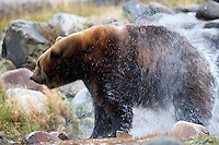 Grizzly bear shaking off water at Grizzly and Wolf Center. West Yellowstone, Montana