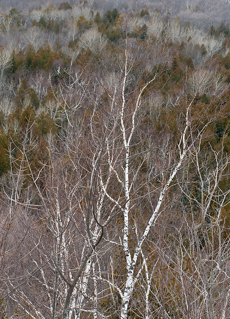 A birch tree highlight the winter forest behind it at Swen's Bluff in Peninsula State Park in Door County, Wisconsin