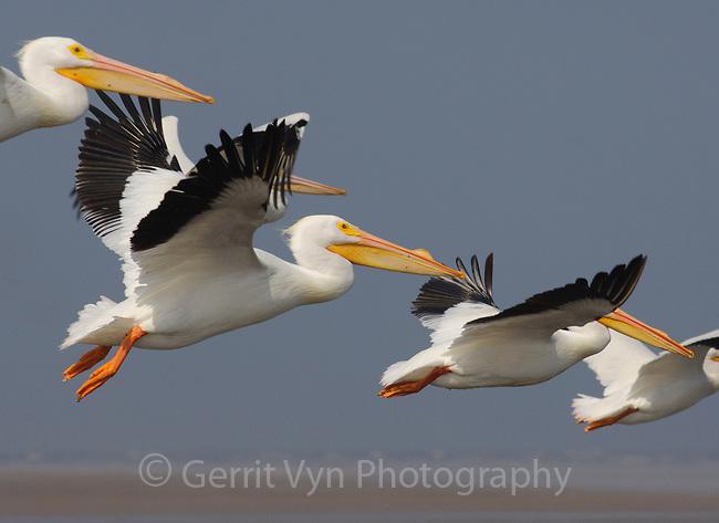 Adult American White Pelicans (Pelacanus erythrorhynchos) in breeding plumage in flight. Bolivar Peninsula, Texas. April.
