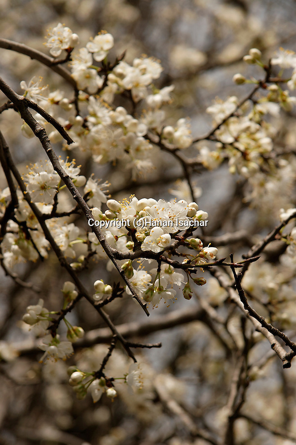 The Golan Heights. Flowers of a Syrian Pear tree