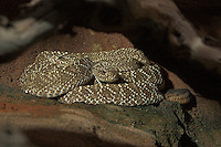 Uracoan Klapperschlange, Klapper-Schlange, Crotalus vegrandis, Uracoan rattlesnake
