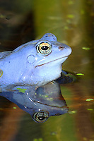 Moorfrosch, Moor-Frosch, Portrait, Porträt, Frosch, zur Paarungszeit, Laichzeit, Männchen intensiv blau gefärbt, Hochzeitskleid, Rana arvalis, Moor Frog