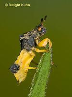 AM01-636z  Ambush Bug male, Phymata americana