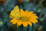 2991-HL(CN) Common Sulphur, Colias philodice, on Gazania, in Stanton, Minnesota