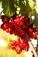 Fresh Redcurrants on a Redcurrant bush