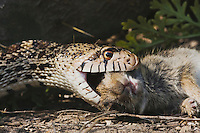 Bullsnake (Pituophis catenifer sayi), adult eating Eastern Cottontail (Sylvilagus floridanus), Rio Grande Valley, Texas, USA