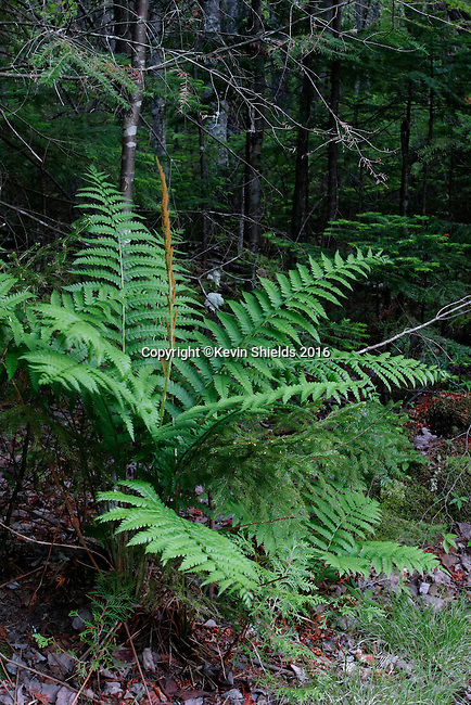 Cinnamon fern at Rangeley Lakes State Park, Maine, USA.