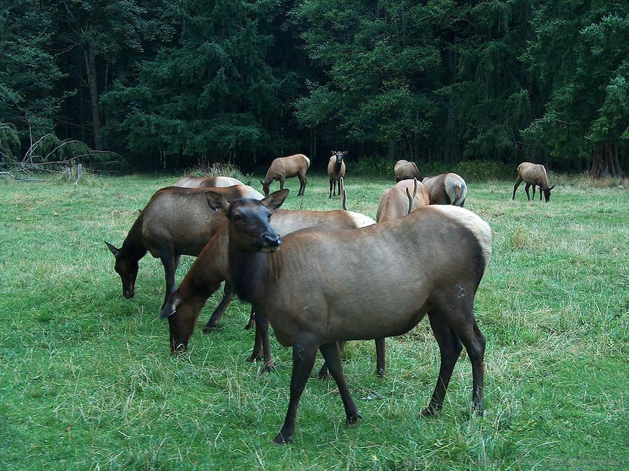 A herd of elk graze at Northwest Trek Wildlife Park in Eatonville, Washington.