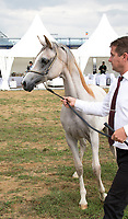 Damali, Arabian Horse with handler, at the Prague Intercup - International Arabian Horse Show 2017. In the Show area.