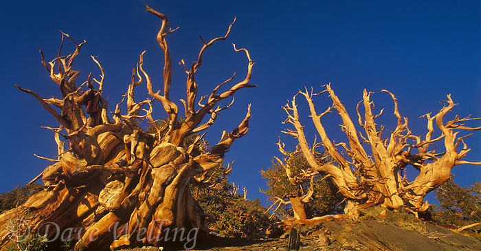920000007 panoramic view of ancient bristlecone pines pinus longeava clinging to life on a rocky hillside above 9000 feet in the protected bristlecone pine forest of the white mountains by the eastern sierras in california united states