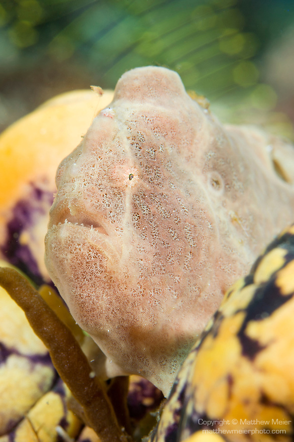 Anilao, Philippines; a small, pinkish tan juvenile Frogfish sitting on a yellow and blue sea squirt
