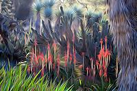 Art - Red flowering Aloe succulent backlit in the Desert Garden at Huntington Library Botanical Garden, California