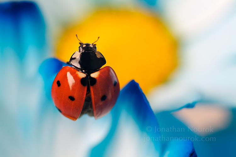 close-up of ladybug (Coccinella) on a daisy flower - commercial/editorial licensing for this image is available through: http://www.gettyimages.com/detail/200112817-001/Photographers-Choice