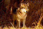 Timber or Grey Wolf, Canis Lupus, Minnesota  USA  .wolf emerging from woodlands, soft golden sunlight.USA....