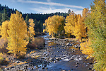 A photo of fall yellow Cottonwood trees along the Truckee River in California
