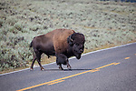 Bison, or American buffalo, crosses 212, North East Entrance Road, the near the Yellowstone River, between Tower Junction and Lamar Valley, Yellowstone National Park, Wyoming. There's around 3,700 bison the park, of the Plains Bison subspecies. Yellowstone may be the only place where bison have not been hunted out of existence,  although the population plummeted due to poaching at the turn of the 20th century.   The population is still under threat - when they roam outside the park boundaries, and from claims that they transmit disease such as bas brucellosis to  cattle.
