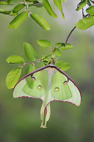Luna Moth (Actias luna), adult perched on Cedar Elm (Ulmus crassifolia), New Braunfels, Texas, USA