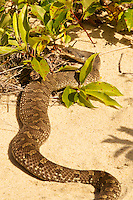 Snakes, Toads and Other Wildlife, Province Lands Dunes, Cape Cod National Seashore